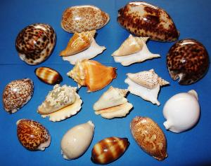 Coquillages  Sea-shells